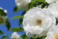 在蓝天的白色玫瑰 库存图片