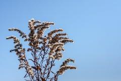 在蓝天的种子头 免版税库存图片
