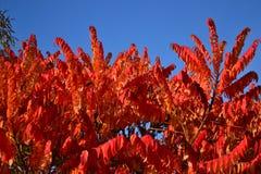 在蓝天的红色树 免版税库存照片