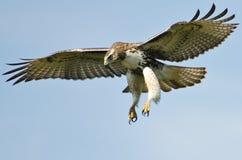 在蓝天的红色被盯梢的鹰飞行 免版税库存图片