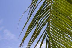 在蓝天的绿色棕榈叶 与文本空间的椰树棕榈叶横幅模板 免版税库存图片