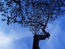 在蓝天的老树枝剪影 与叶子装饰品的分蘖性橡木分支 库存照片