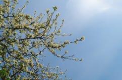 在蓝天的苹果树 免版税库存图片