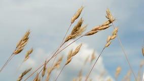 在蓝天的草地早熟禾与白色云彩, 免版税库存图片