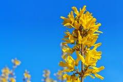 在蓝天的连翘属植物 免版税库存图片
