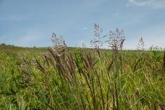 在蓝天的野草沿在 免版税库存图片