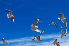 在蓝天的飞行海鸥 免版税库存图片