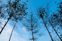 在蓝天的高树和激发云彩bakground 免版税库存照片