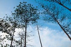 在蓝天的高树和激发云彩bakground 免版税库存图片
