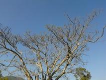 在蓝天的结构树 库存图片