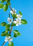 在蓝天的洋梨树花 免版税库存照片