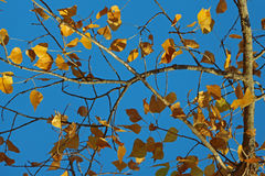 在蓝天的黄色叶子 图库摄影
