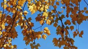 在蓝天的黄色叶子 股票录像