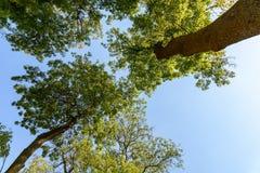 在蓝天的绿色林木 库存照片
