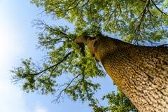 在蓝天的绿色林木 免版税图库摄影