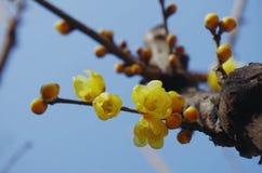 在蓝天的黄色蜡梅花 免版税图库摄影