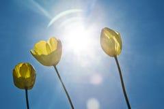 在蓝天的黄色郁金香 明亮的星期日 阳光 免版税库存图片