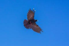 在蓝天的黑鸟 库存照片