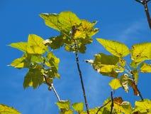 在蓝天的Catalpa树 免版税库存照片