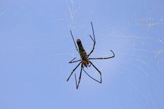 在蓝天背景下的被察觉的蜘蛛nephila 库存图片