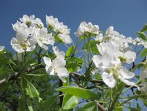 在蓝天背景关闭的雪白梨花 免版税图库摄影