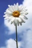 在蓝天背景的一朵雏菊 库存图片