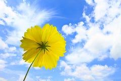 在蓝天背景的万寿菊花 图库摄影