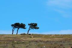 在蓝天背景的三棵偏重杉树 图库摄影