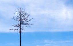 在蓝天背景的偏僻的干燥死的树 库存照片