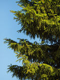 在蓝天背景的冷杉木在晴天 免版税图库摄影