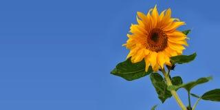 反对蓝天的向日葵 免版税库存图片