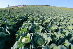 在蓝天背景的圆白菜领域 免版税库存照片