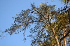 在蓝天背景的大分支的老杉木 库存照片