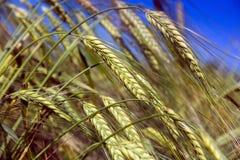 在蓝天背景的大麦 免版税图库摄影