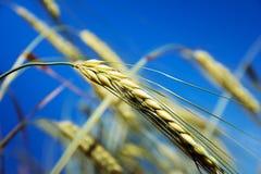 在蓝天背景的大麦 库存照片