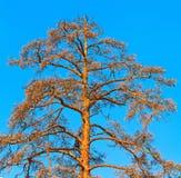 在蓝天背景的干杉木 免版税图库摄影