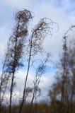 在蓝天背景的干燥秋天草  库存照片