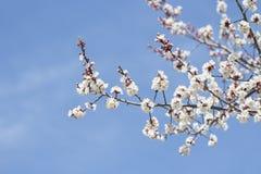 在蓝天背景的开花的杏子  免版税图库摄影