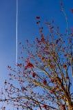 在蓝天背景的开花的树与红色花和飞机踪影 库存照片