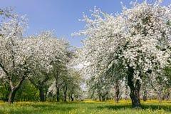 在蓝天背景的开花的苹果树 库存图片