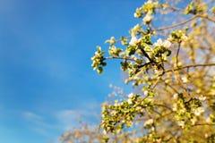 在蓝天背景的开花的苹果树  库存照片