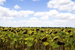 在蓝天背景的成熟向日葵  免版税库存图片