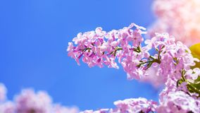 在蓝天背景的明亮的淡紫色绽放 免版税图库摄影