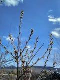 在蓝天背景的春天枝杈与云彩 免版税库存图片