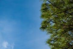 在蓝天背景的杉木叶子 图库摄影
