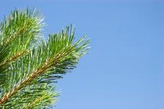 在蓝天背景的杉树分支 库存图片
