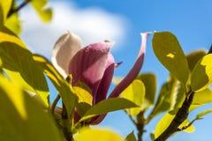 在蓝天背景的桃红色木兰  免版税图库摄影