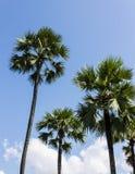 在蓝天背景的桄榔树 免版税库存图片