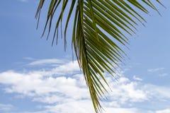 在蓝天背景的椰子树树绿色棕榈叶  热带自然照片 库存图片
