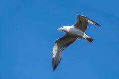在蓝天背景的海鸥 库存照片